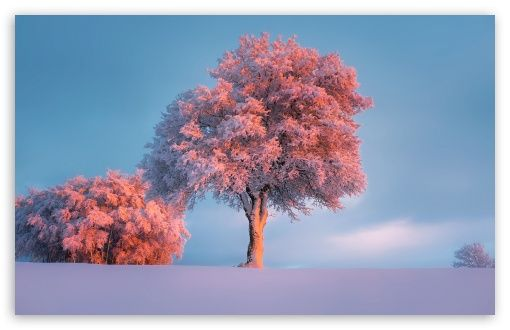Trees Winter Pink Sunset HD Desktop Wallpaper Widescreen High Definition Fullscreen