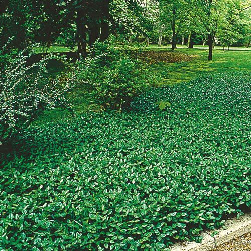 Purple Wintercreeper Ground Cover Plants Covers And Vines Gurneys Seed Nursery For The Island