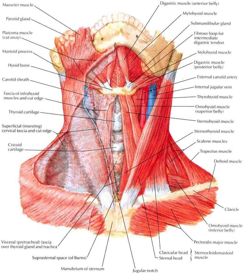 Anatomy Neck Muscles Guide Photography Gallery Sites With Anatomy ...