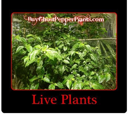 The Hottest pepper plants in the World!  $10.99 free shipping. We send out on Mondays and Tuesdays, so order yours if you want them this week!
