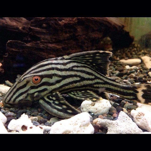 Black Aquarium On Instagram L27 Royal Pleco Plecostomus Royalpleco L27 Fish Freshwaterfish Tropicalfish Aquarium Fish Aquarium Catfish Pleco Fish