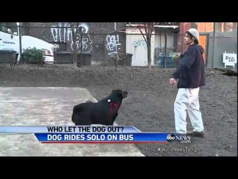 Dog Rides Bus Alone, Wins Hearts  (for some reason the video plays the story twice)  ❤ ❤ ❤