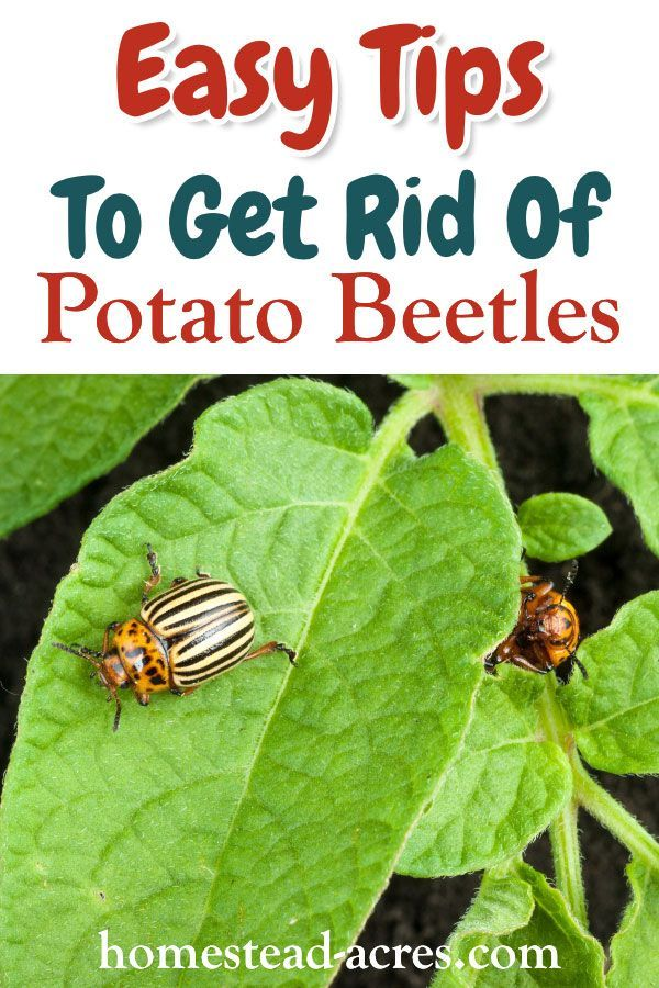 ddd3eccd4112a8026fe8e1aed5573fac - How To Get Rid Of Flea Beetles On Potato Plants