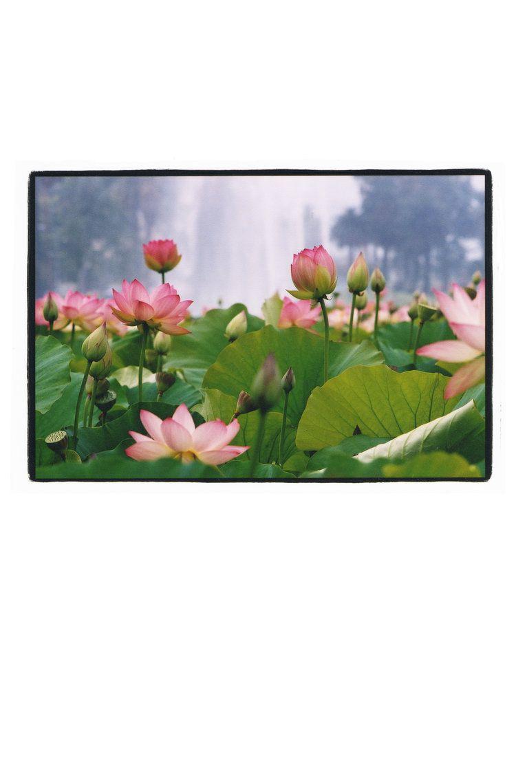 Lotus fountain blooming lotus series lotus lotus izmirmasajfo