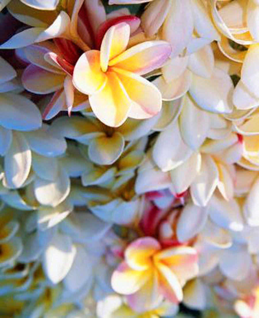 Pin By Asanka Amunugama On Tropical Flower Market Flowers Plumeria