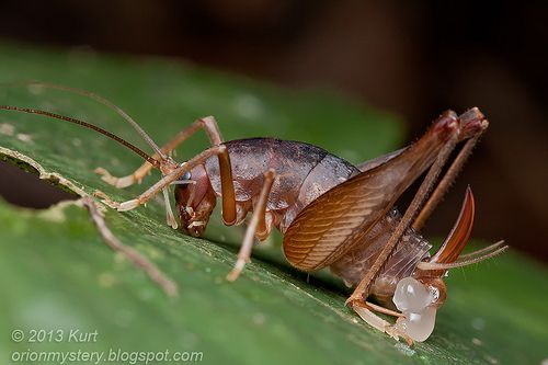 Cricket with nuptial gift IMG_1664 copy | Arthropods | Pinterest ...