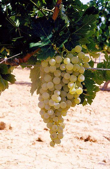 AIRÉN  Originaria de La Mancha. Variedad más plantada en España, en La Mancha principalmente, y en todo el centro peninsular. En el mundo ocupa el 30 % de la superficie de viñedo, por lo que es la más cultivada.  Sinonimias: Lairén, Aidén, Manchega, Valdepeñera y Forcallat blanca.  Cepa rústica y dura. Resistente a sequía y enfermedades. Productiva. Racimos grandes y apretados. Bayas grandes, redondas, de color dorado. La variedad Airén produce unos vinos de aromas característicos afrutados