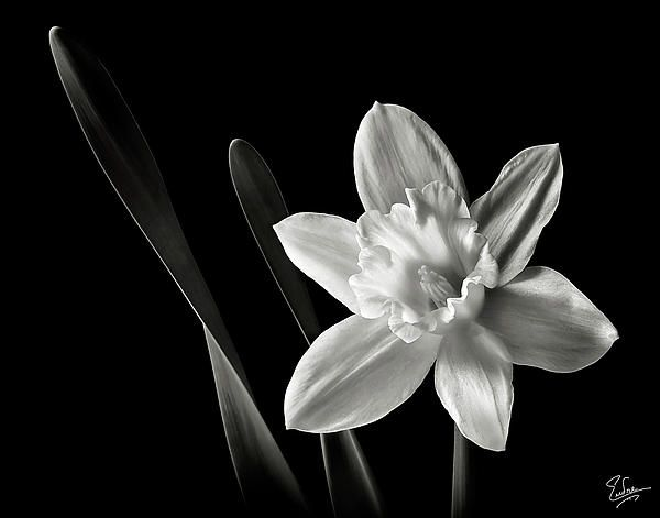 December Birth Flower Tattoo Black And White: Daffodil In Black And White By Endre Balogh
