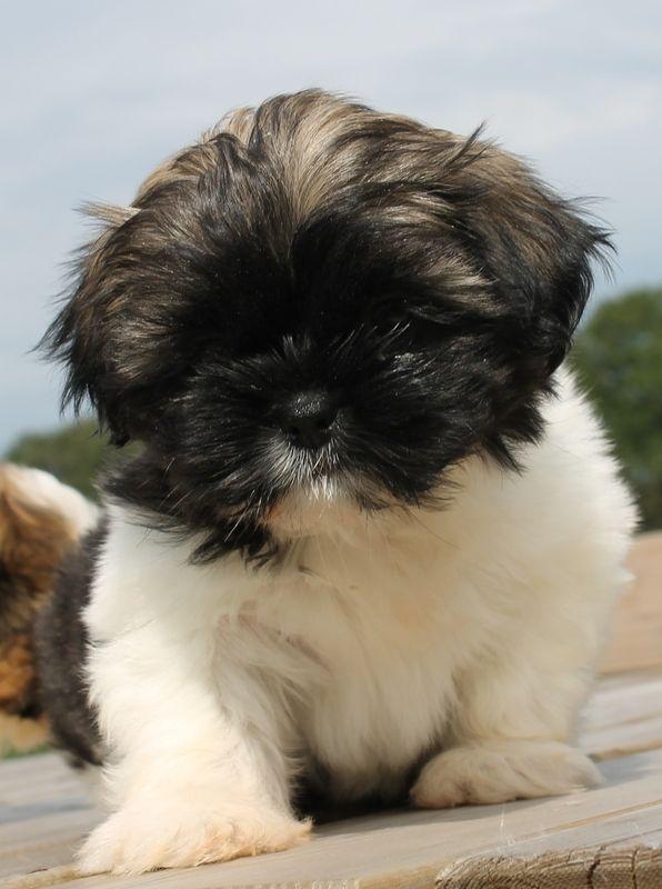 Shih Tzu Affectionate And Playful Shitzu Dogs Cute Dogs Shih Tzu