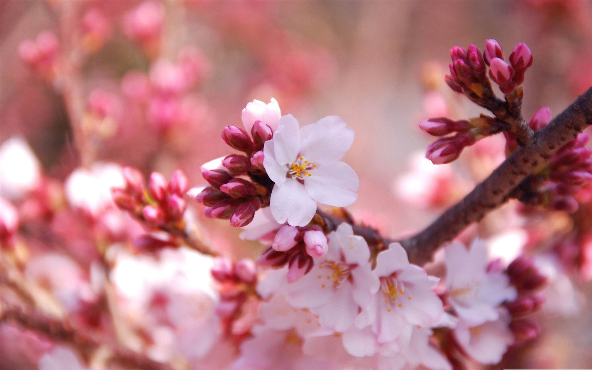Images Spring Desktop Wallpaper Hd Spring Desktop Wallpaper Cherry Blossom Wallpaper Spring Wallpaper