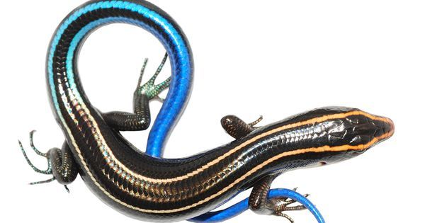 How lizards use clever coloring to deceive predators