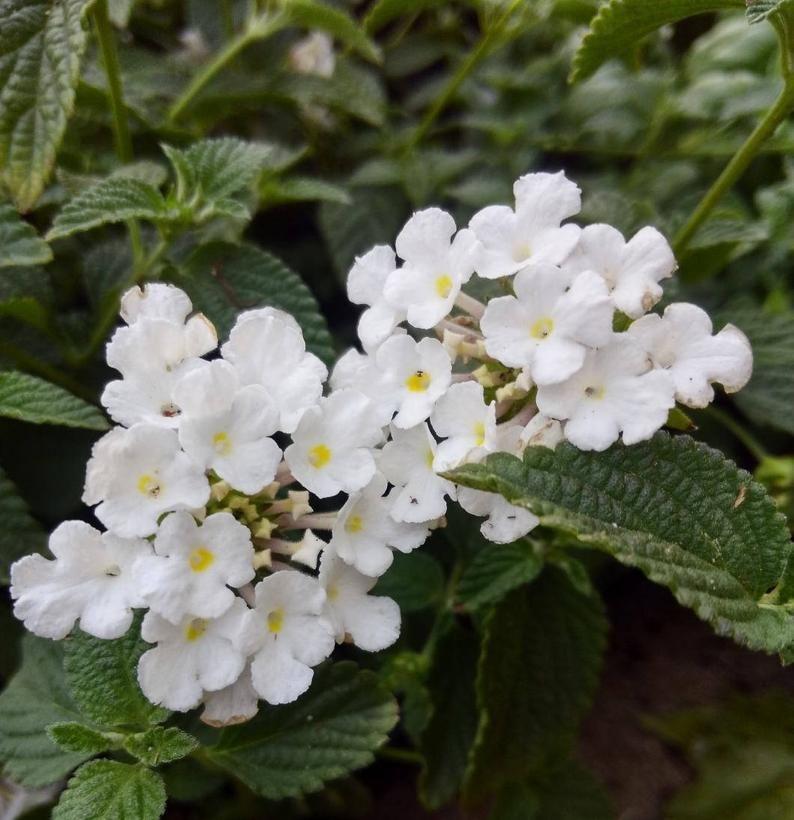 Trailing White Lantana Plant In 2020 Lantana Plant Lantana Plants
