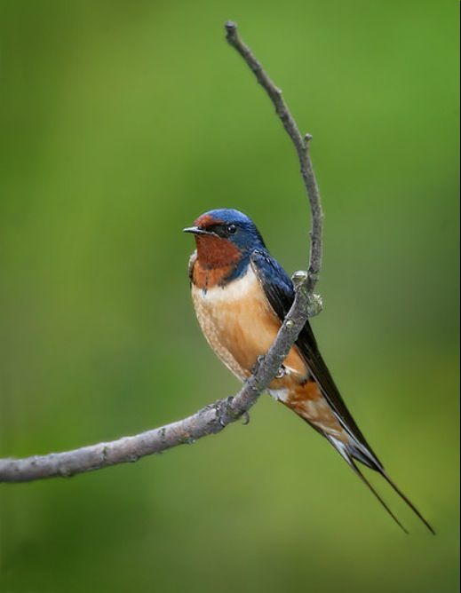 One of my favorite birds. Barn Sparrow   Barn swallow, Birds