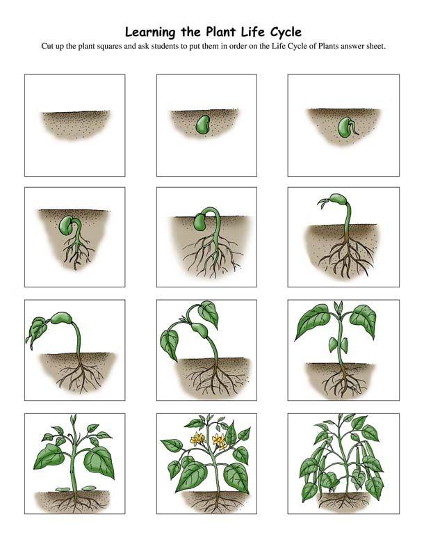 Plant lifecycle printable PDF   Montessori-Inspired ...