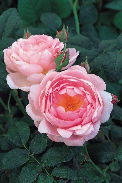 Rose \'Ausland\' | Flowers - Roses & Peonies | Pinterest | Rose ...