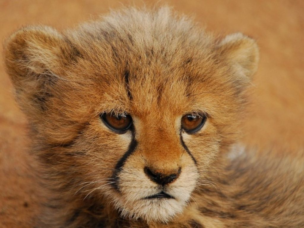 Cheetah wallpapers hd wallpaper hd wallpapers pinterest cheetah wallpapers hd wallpaper voltagebd Image collections