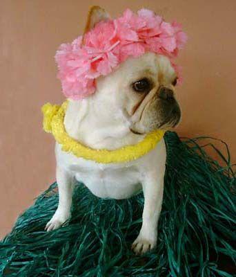I M A French Bulldog From French Polynesia Got It