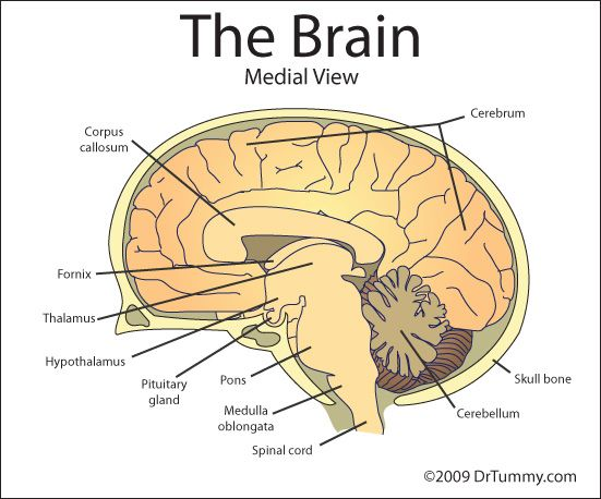 The frontal cortex is part of the cerebral cortex (or the ...