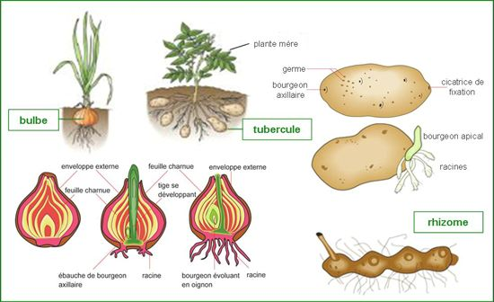 R sultats de recherche d 39 images pour bulbilles glaieul horticulture pinterest glaieul - Acheter plant de patate douce ...