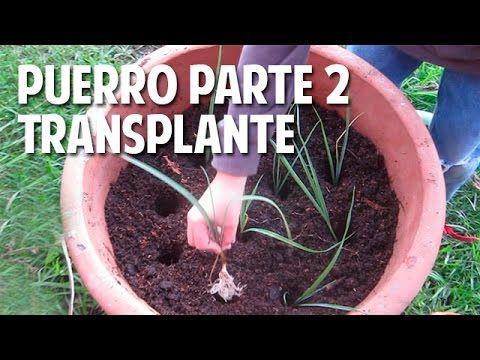 cómo cultivar puerros en maceta - parte 2 transplante riego y