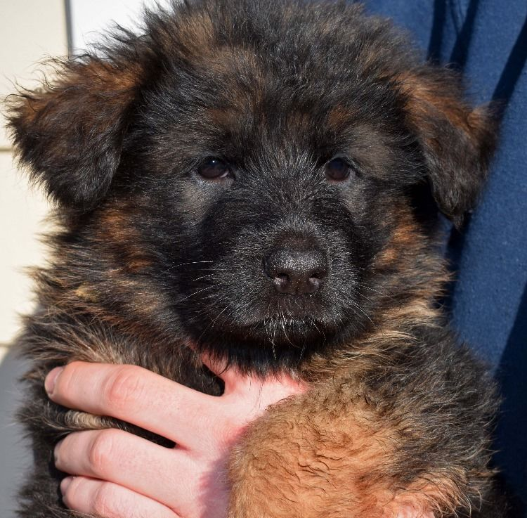 6 Week Old Long Coat German Shepherd Puppy Available Now From