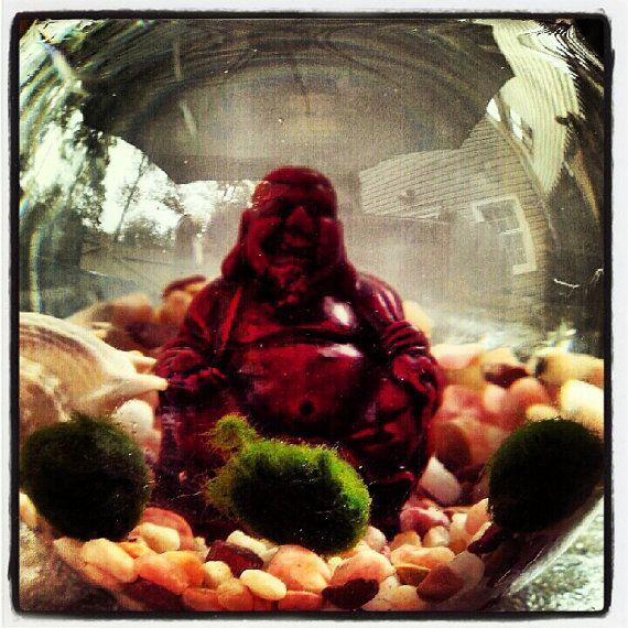 Living nano marimo moss ball pets in zen buddha aqua