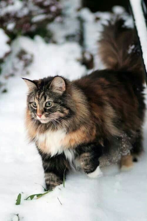 Snezhnye Kotiki Gorgeous Cats Norwegian Forest Cat Beautiful Cats
