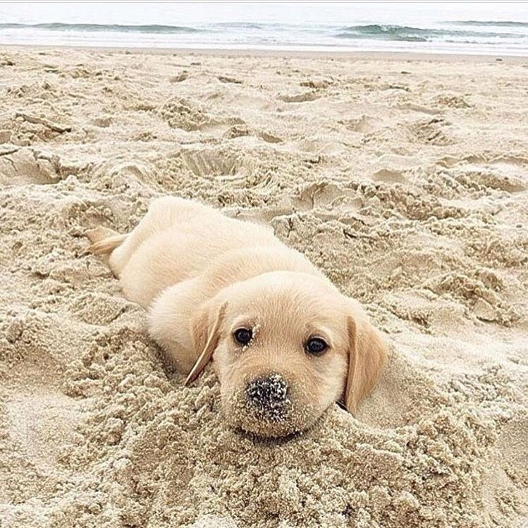 Golden Retrivers A N I M A L S Dogs Dogs Puppies Cute Dogs