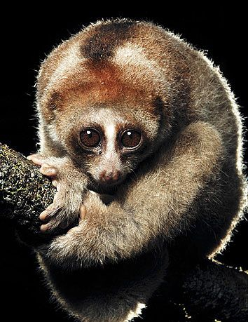 Animals That Are Almost Extinct | Super-cute new primate species is already almost extinct | Grist