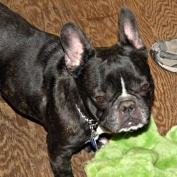 Adopt Adreann On Puppies French Bulldog Dogs Best Dogs