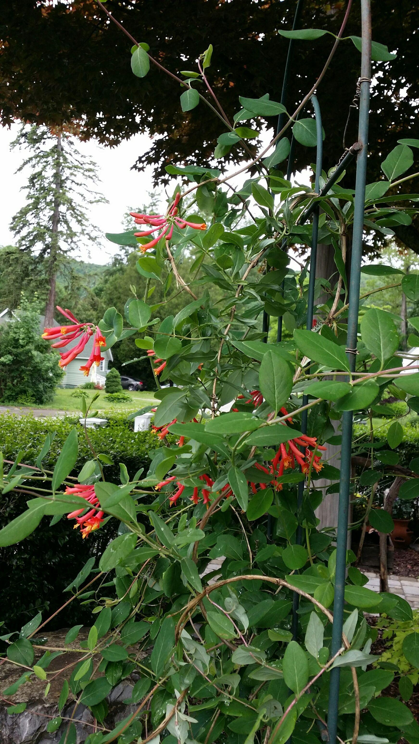 Honeysuckle vine in itus second year so many sweet blooms