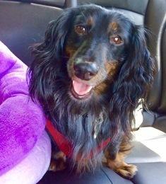Adopt Buddy Bustle On Dachshund Dog Dachshund Rescue Adoption