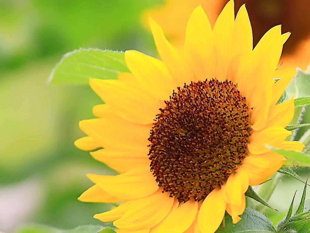 最高のコレクション ひまわり の 壁紙 ひまわり 向日葵 画像
