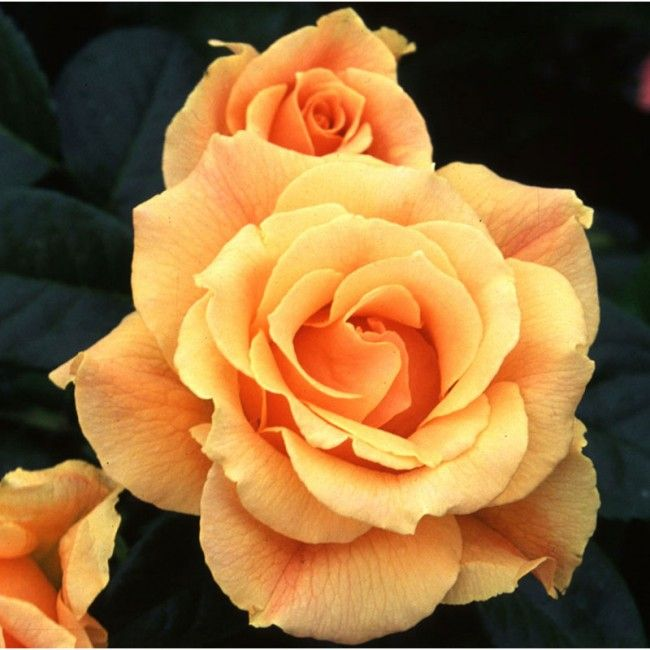 Easy Going Shrub Roses Heirloom Roses Floribunda Roses