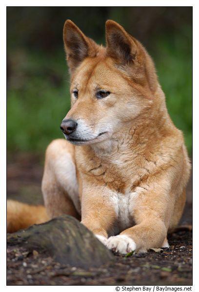 WILD AUSTRALIAN DINGOES HUNTING DINGO DOG ART PAINTING PRINT ON REAL CANVAS