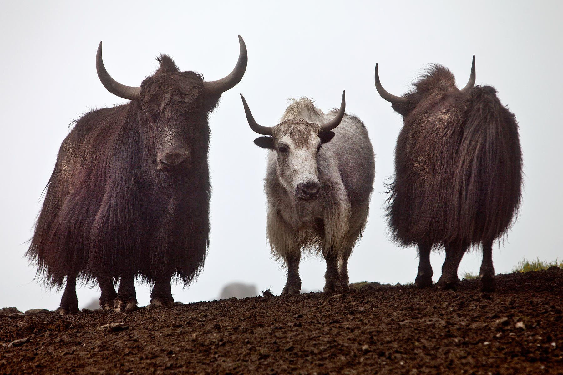 Yak Trio Animals Animals Wild Yak