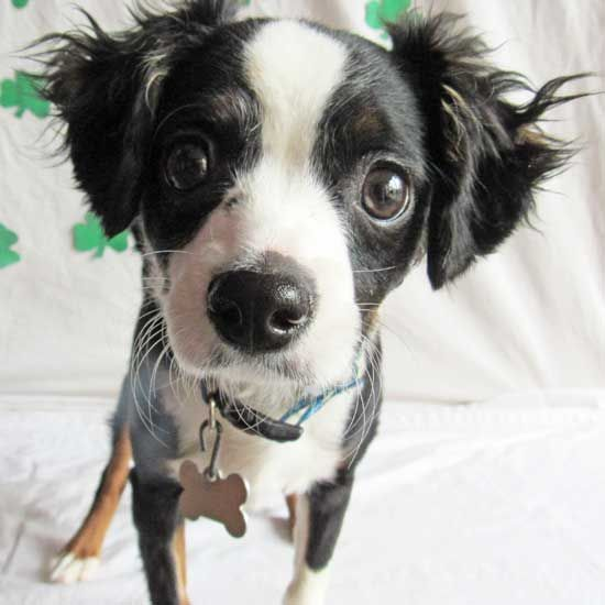 A King Cavalier Spaniel puppy ready to find a family! This
