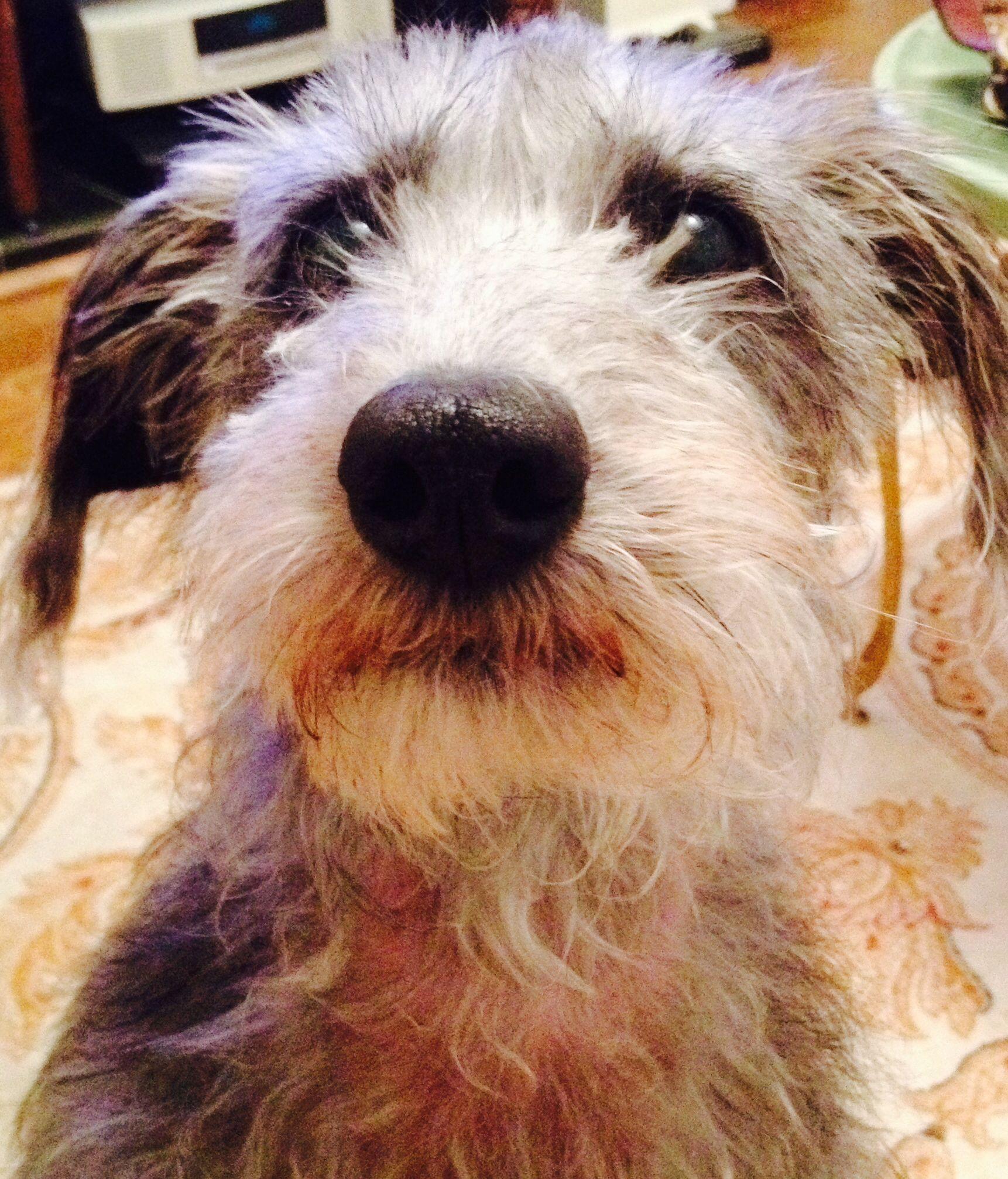 C Joyfulfluff Tilly Lurcher Bedlington X Whippet 2014 Lurcher Whippet Dogs