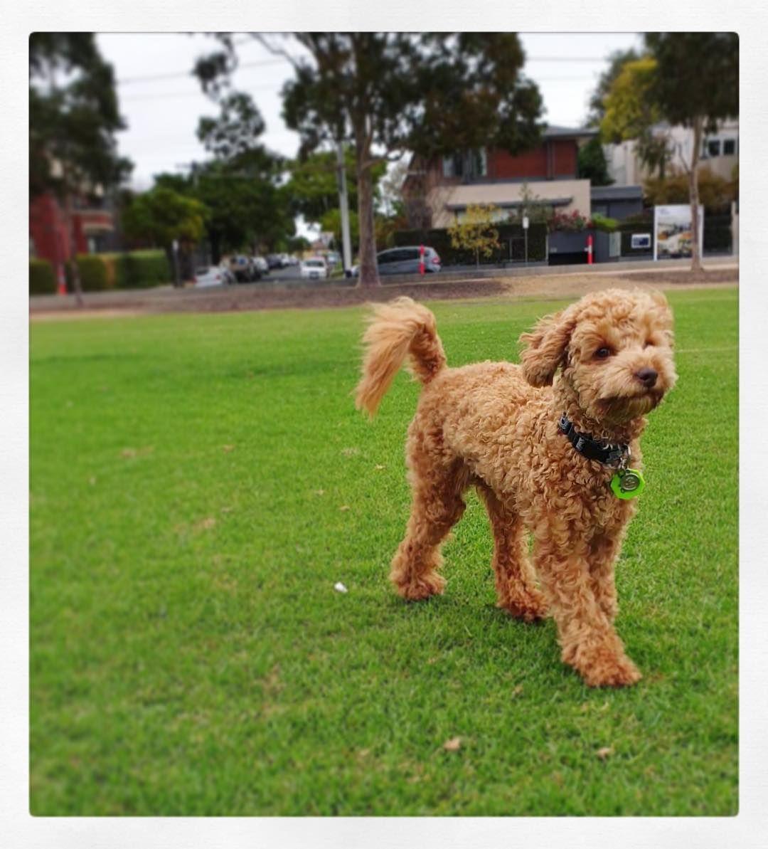Cavoodle Puppy Melbourne Cavoodlestagram Red Cavoodlepuppy