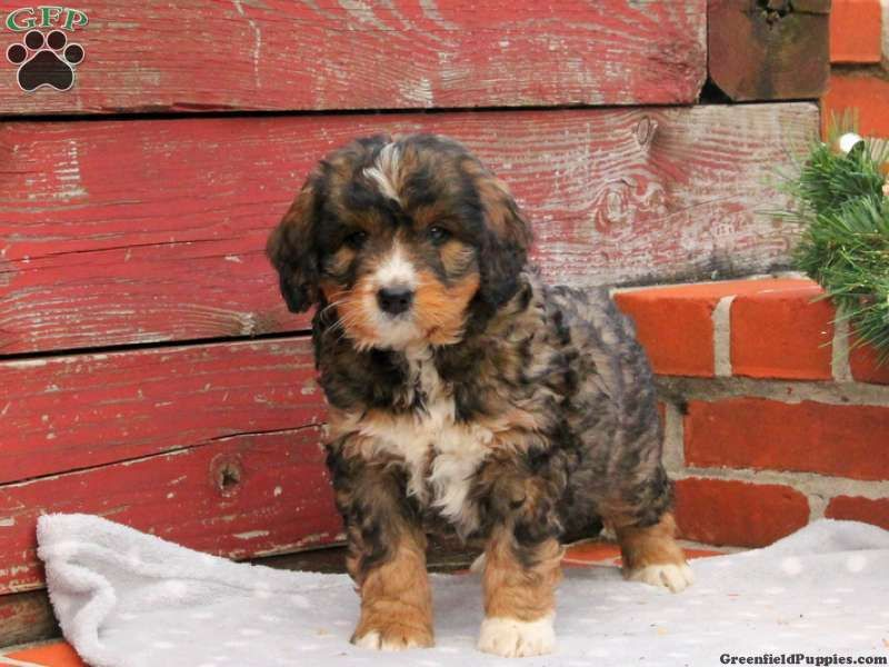Jex Miniature Bernedoodle Puppy For Sale In Paradise Pa Miniature Puppies Bernedoodle Puppy Puppies