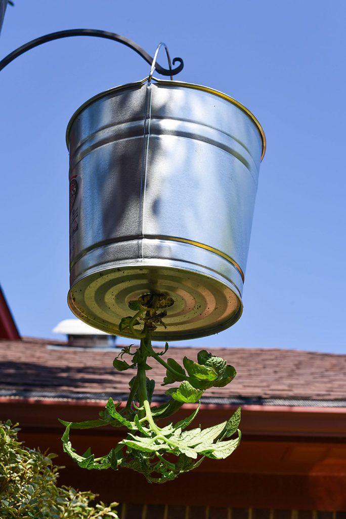 Diy Upside Down Tomato Planter With A Galvanized Bucket 400 x 300
