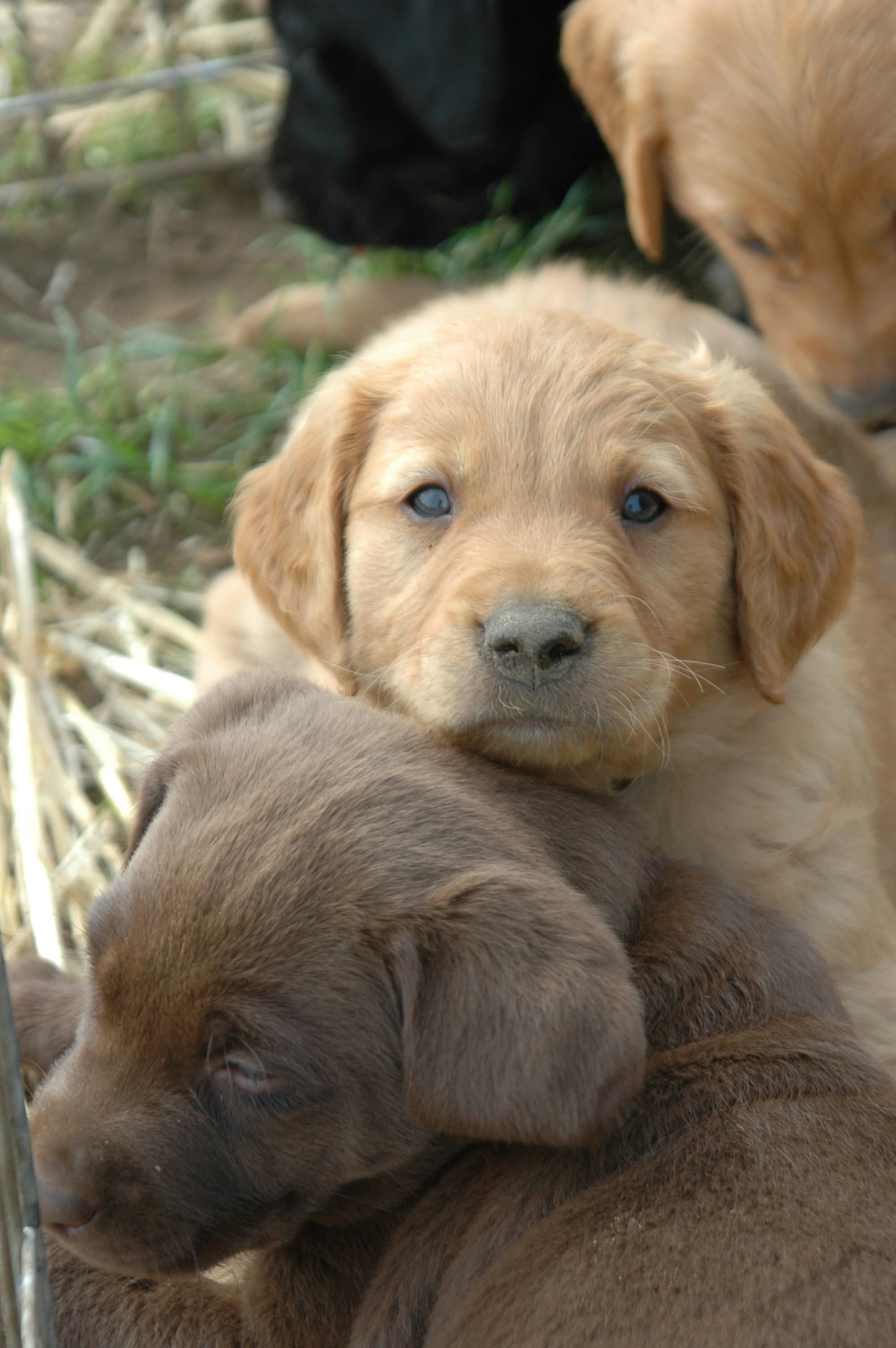 Chocolate, Yellow, Black & Golden Retriever Puppies Oregon