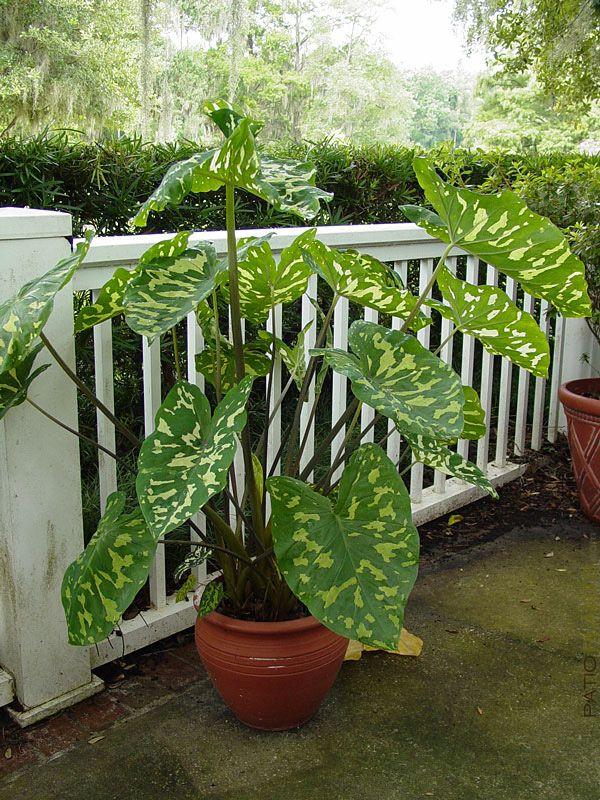 "Hilo Beauty Elephant Ear Plant Alocasia, large 6"" pot"