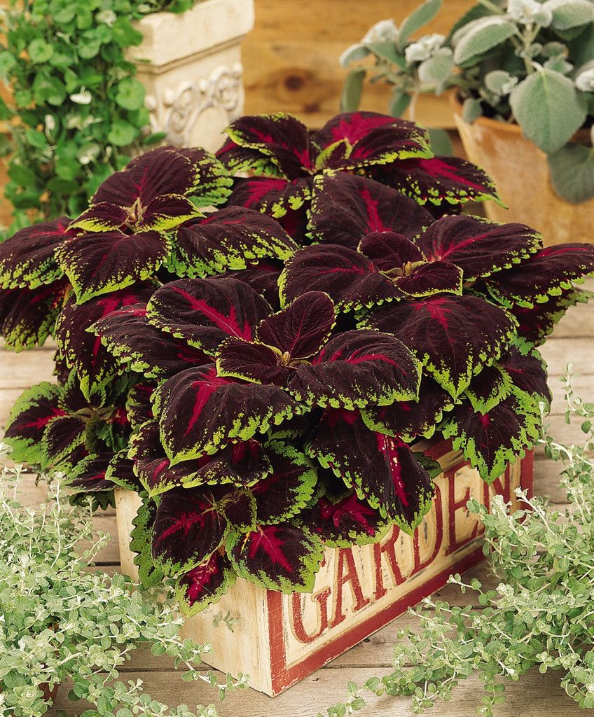 List of annual flowers ided by color sun amp shade types - Kong Coleus Seeds Red