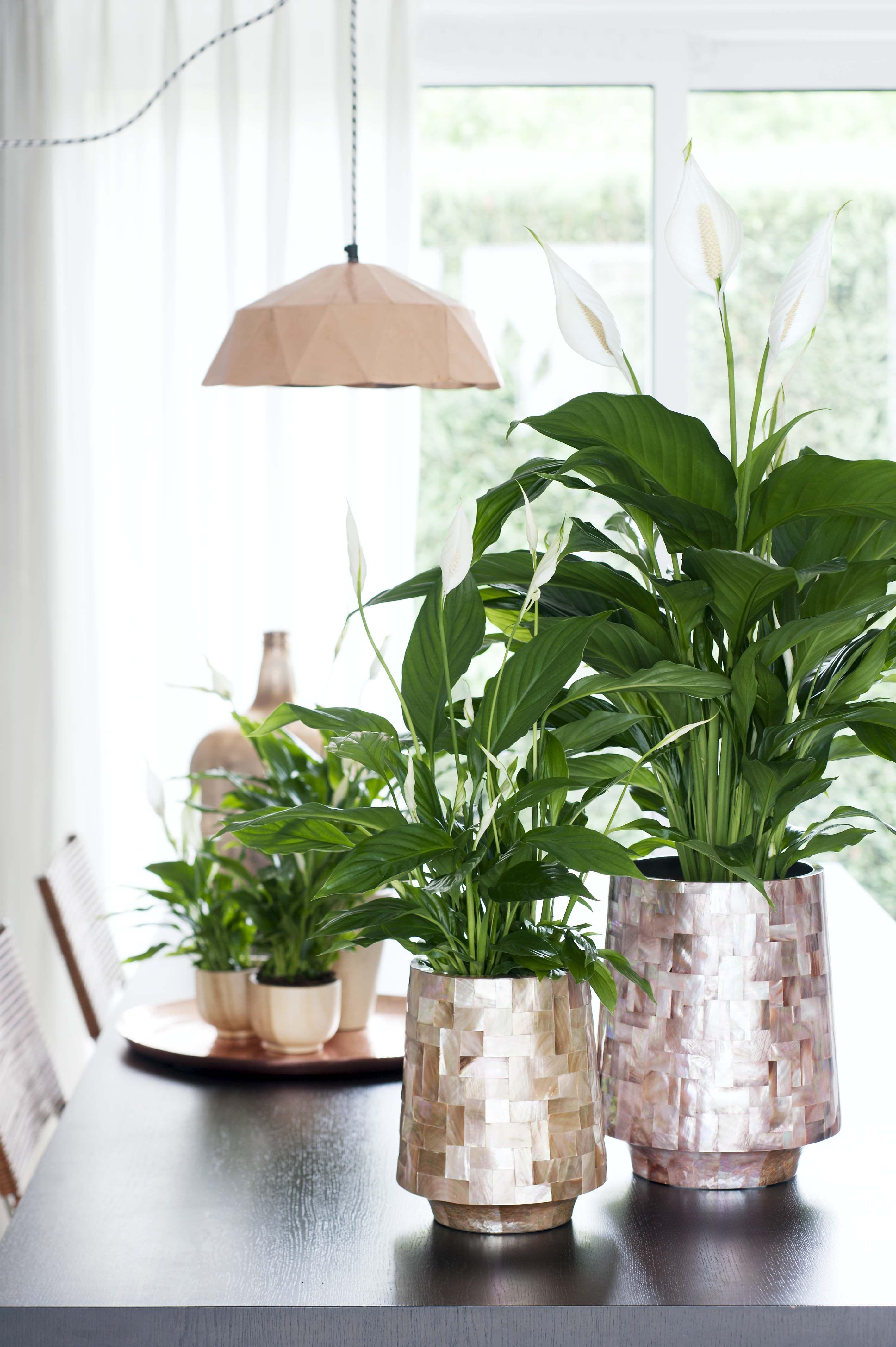 einblatt ist zimmerpflanze des monats juni pflanzen pinterest vasen pflanzen und. Black Bedroom Furniture Sets. Home Design Ideas