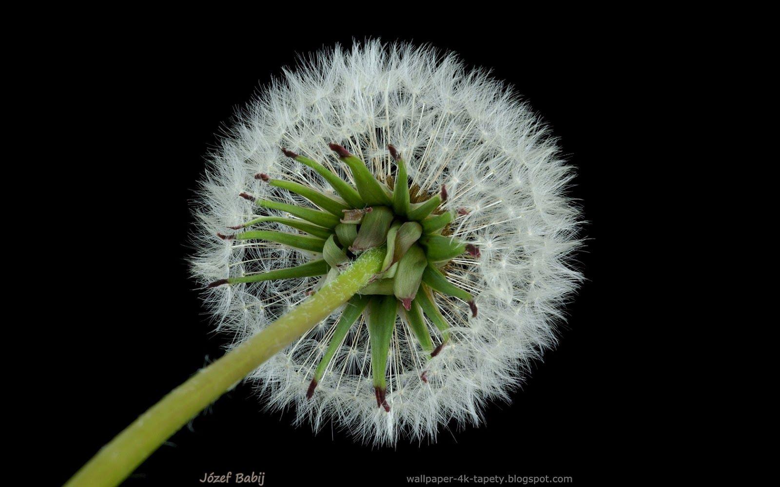 Tapety Na Pulpit 4k Ultra Hd Full Hd I Inne Rozdzielczosci Mniszek Lekarski Dmuchawiec Owoc Taraxacum Officinale Fruit Dandelion Plants Flowers