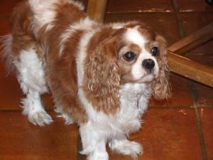 Adopt Spencer On Cavalier King Charles Dog King Charles Dog Cavalier King Charles Spaniel
