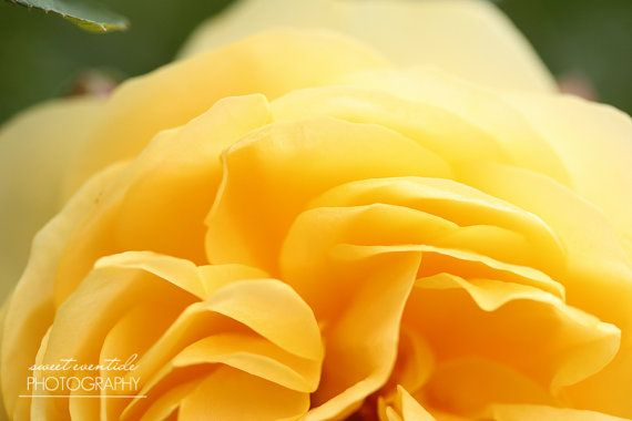 Flower Photograph Rose Blossom Petals Yellow by SweetEventide, $150.00