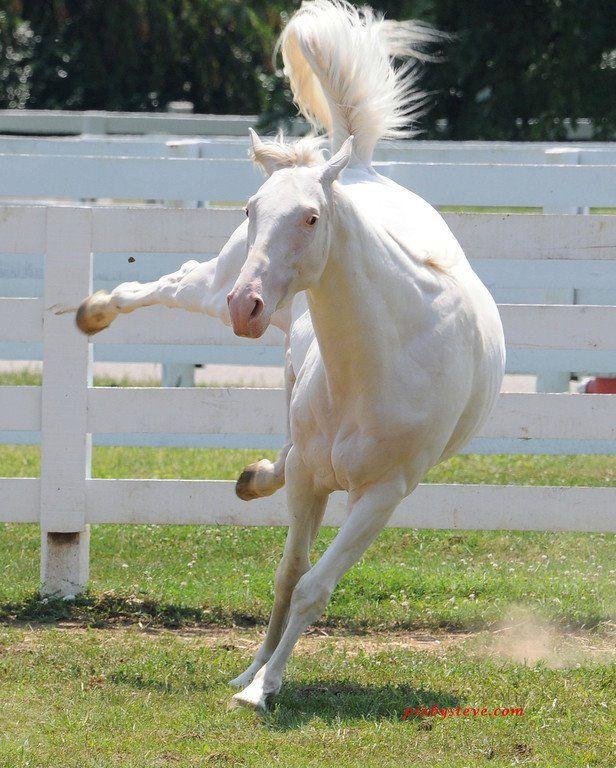 Wow... a while horse... stunning! | White/albino horses | Horses, White horses, Albino horse - photo#9