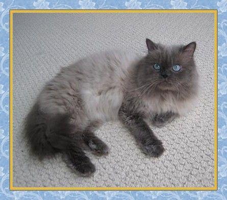 Blue Point Himalayan Cats Kuddles Blue Point Himalayan